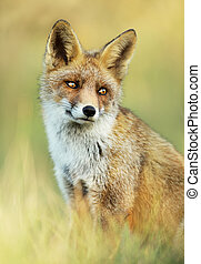 Close up of a cute Red fox sitting in the grass