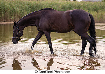 Close-up of a dark horse drinks water from a lake. Horse ride