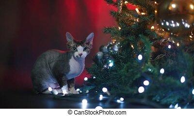 Close-up of a Devon Rex cat sitting near a Christmas tree.