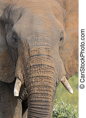 Close-up of a dirty elephant tusk, ear, eye and nose