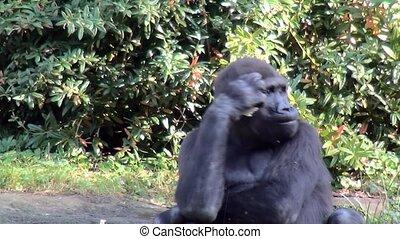Close Up of a eating Gorilla. - Lowland Gorilla (Gorilla...