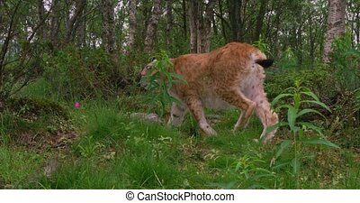 Close-up of a european lynx walking in the forest at summer...