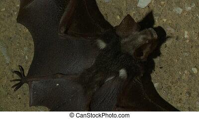 Close-Up Of A Fallen Bat, Gua Tempurung Cave, KL - Extreme...