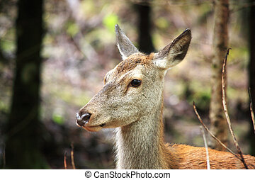 Close up of a female red deer