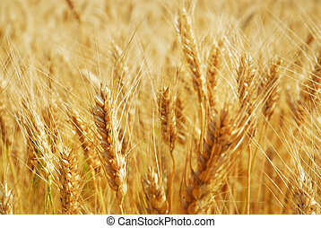 Close-up of a field of wheat