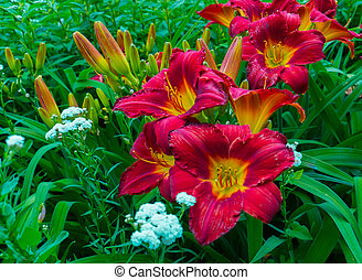 Close-up of a flower bed with lilies in the garden.