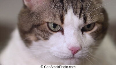 Close-up of a funny cat lickens it mouth in slow motion. -...