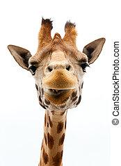 Funny Giraffe - Close-up of a Funny Giraffe on a white...