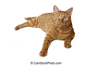 Close-up of a ginger cat lying and looking curious to the camera - isolated on a white background.