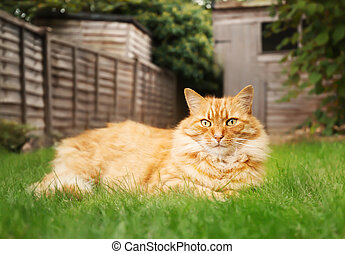 Close up of a ginger cat lying on grass in the back yard