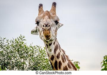 Close up of a Giraffe starring at the camera.