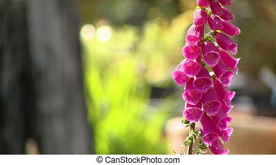 Close up of a glowing pink foxglove flower - Extreme close ...