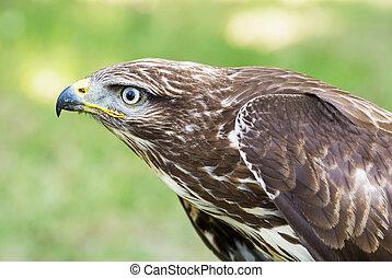Close up of a Golden eagle (Aquila chrysaetos)