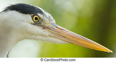Close-up of a great blue heron