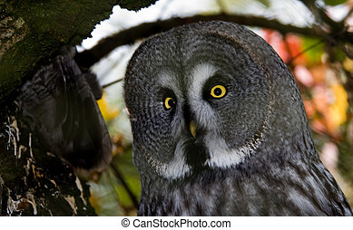 Great Grey Owl - close-up of a Great Grey Owl or Lapland Owl...