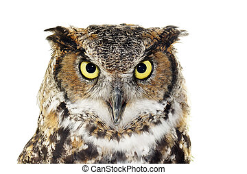Close-up of a Great Horned owl on white - Close up portrait...