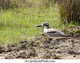 great thick knee - close up of a great thick knee amongst...