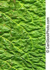 Close up of a green dock leaf.