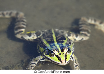 Close up of a Green frog head
