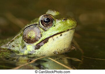 Green Frog (Rana clamitans) - Close-up of a Green Frog (Rana...