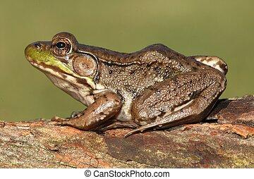 Green Frog (Rana clamitans) - Close-up of a Green Frog (Rana...