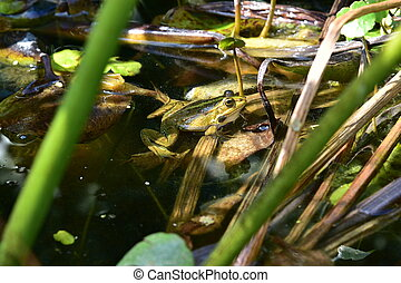 Close up of a green frog Rana esculenta complex in a pond.