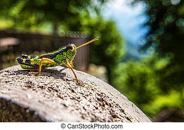 Close-up of a green grasshopper