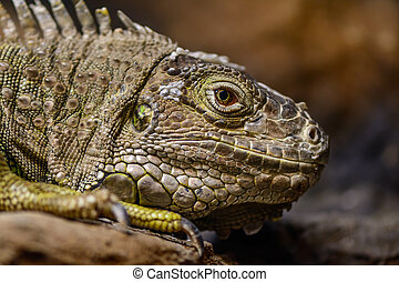 Close-up of a green Iguana. Calm and beautiful green iguana reptile portrait closeup at zoo.