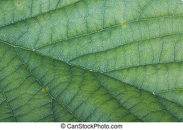 Close up of a green leaf with viens