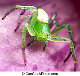 Close Up Of A Green Money Spider
