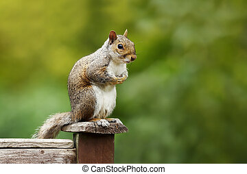 Grey squirrel sitting on a fence post