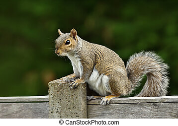 Close up of a grey squirrel sitting on a fence