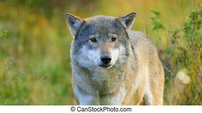 Close-up of a grey wolf smells after rivals and danger in...