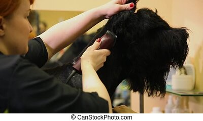 Close-up of a groomer's hand cutting a dog in a beauty salon for dogs using an electric clipper. Dog Head