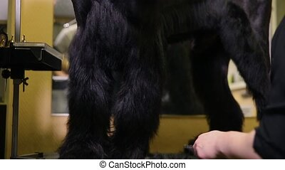 Close-up of a groomer's hand cutting a dog in a beauty salon for dogs using an electric clipper.