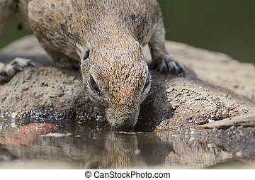 Close-up of a Ground squirrel drinking water from a waterhole in Kalahari desert