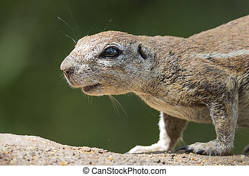 Close-up of a Ground squirrel on a rock in sun