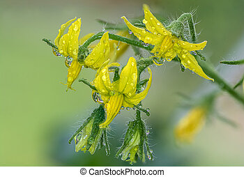 Close-up of a group of tomato flowers in the plant