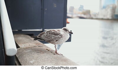 Close up 4k video of a European Herring Gull standing on a Concrete Barrier, and with the River Thames as Background