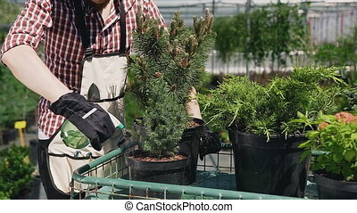 Close up of a hand in gloves holding a funnel. A man with a beard in a garden apron pours ornamental plants with water. Garden with decorative trees on a sunny day.