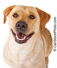 Close-up of a yellow Labrador Retriever dog with a happy face