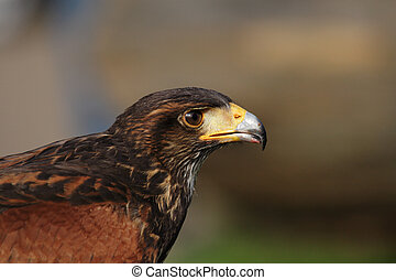 Close up of a Harris Hawk (Parabuteo unicinctus)