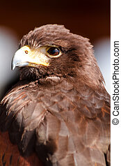 Harris Hawk - Close up of a Harris Hawk sitting in a tree