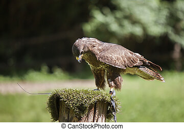 Harris's buzzard (parabuteo unicinctus) - Close up of a ...