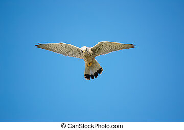 hawk under a clear sky