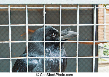 Close up of a head of a black raven crow in old vintage metal cage.