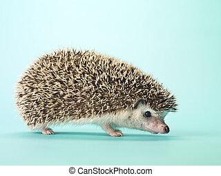 close up of a hedgehog - Close-up of a hedgehog isolated on ...