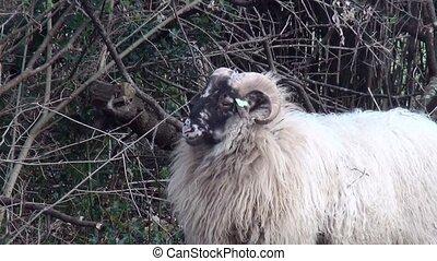 Close Up of a Heidschnucke sheep