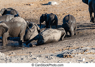 Close up of a Herd of African Elephants Bathing and Drinking in a Waterhole