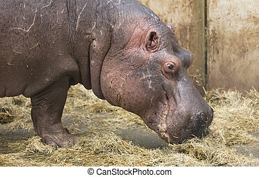 Close-up of a hippo